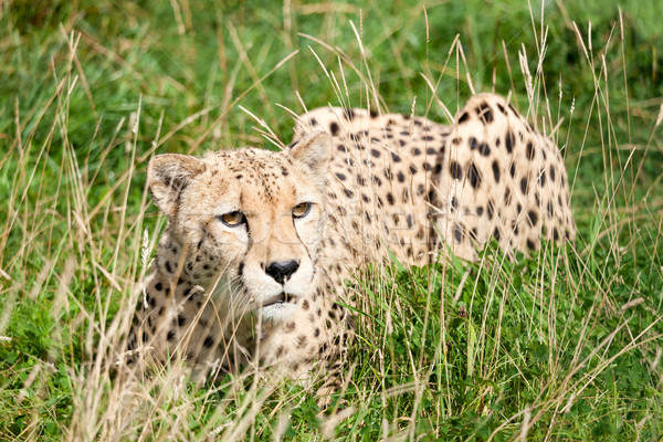 Cheetah Crouching Amongst Long Grass Stock photo © scheriton