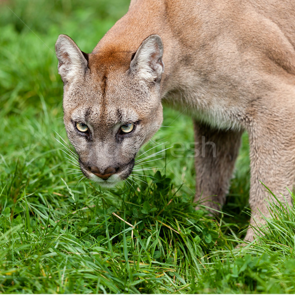 Head Shot of Puma with Beautiful Eyes Stock photo © scheriton
