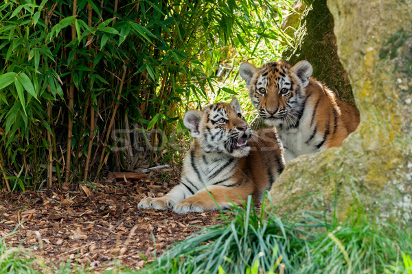 Kettő aranyos tigris menedék fehér állat Stock fotó © scheriton