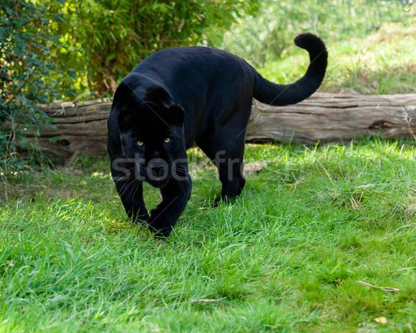 Black jaguar animal running