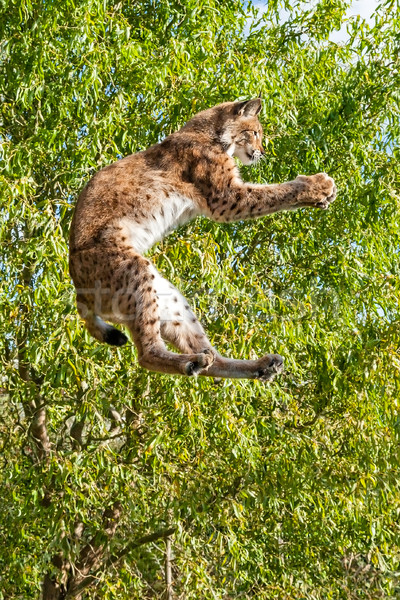 Playful Eurasian Lynx Jumping to Catch Something in Paws Stock photo © scheriton