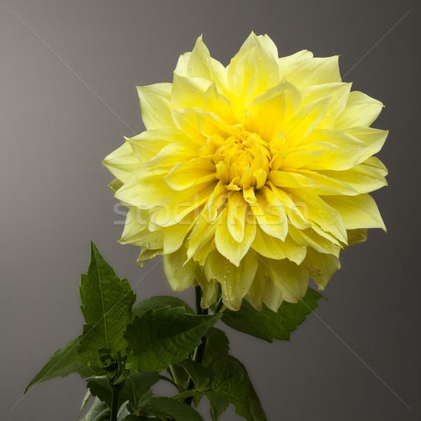 Beautiful Yellow Dahlia on Graduated Grey Background Stock photo © scheriton
