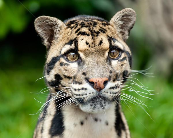 Head Shot Portrait of Beautiful Clouded Leopard Stock photo © scheriton