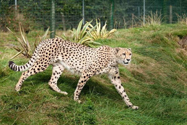 Stock fotó: Gepárd · fű · macska · minta · állat · gyönyörű