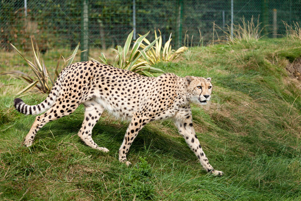 Cheetah Pacing through Grass in Enclosure Stock photo © scheriton