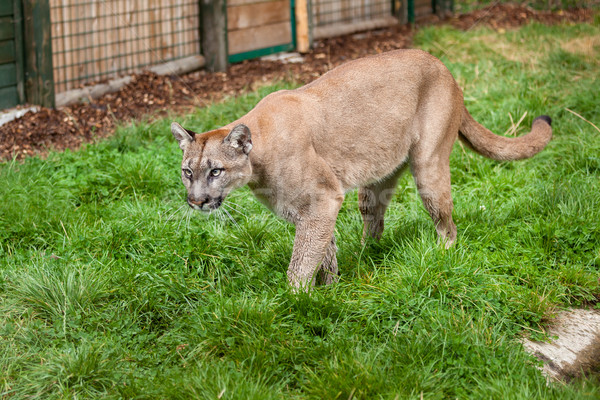 Puma Stalking Through Enclosure Stock photo © scheriton