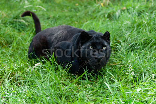 Black Leopard Ready to Pounce in Long Grass Stock photo © scheriton