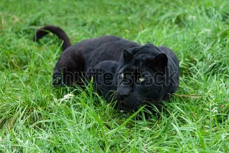 Black Leopard Stalking in Long Grass Stock photo © scheriton