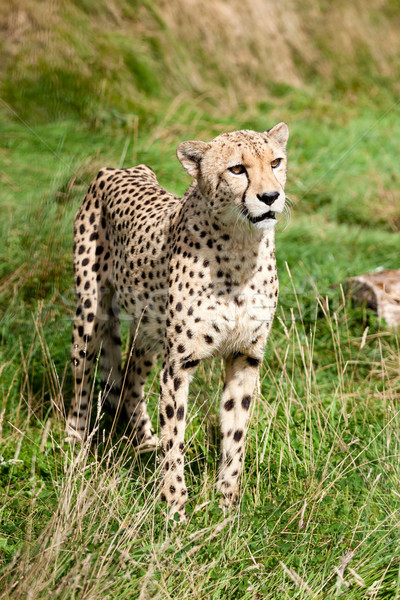 Portrait of Cheetah Standing in Long Grass Stock photo © scheriton