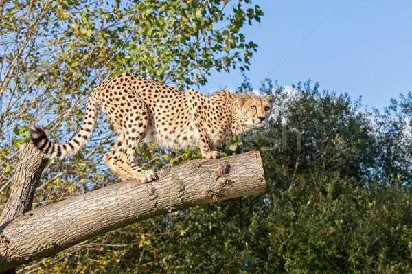 Cheetah Crouching on a Tree Branch Stock photo © scheriton
