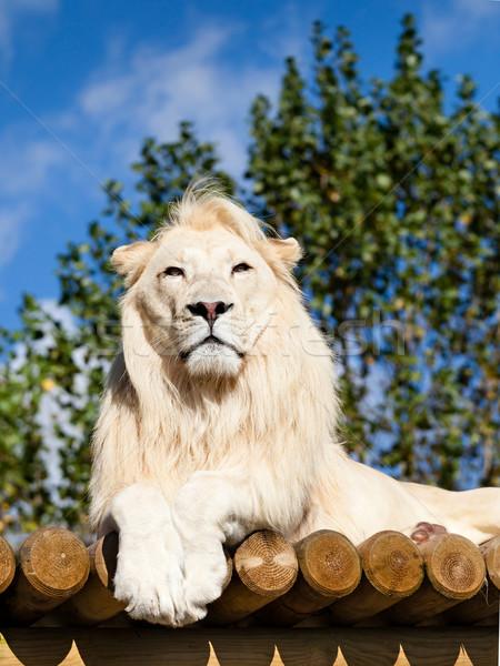 Stock photo: White Lion Posing on Sunny Wooden Platform