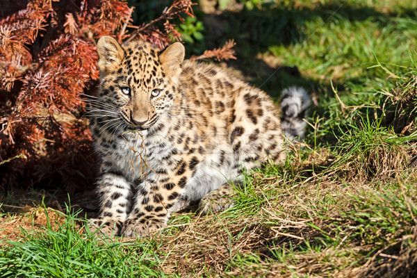Cute Baby Amur Leopard Cub Chewing Grass Stock photo © scheriton