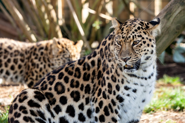 Mother Amur Leopard Protecting Cub in the Background Stock photo © scheriton