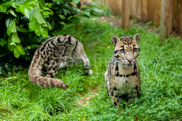 Male Clouded Leopard Posing with Female in Background Stock photo © scheriton