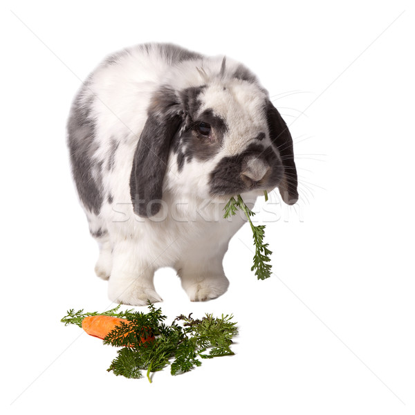Cute Grey and White Bunny Rabbit Standing Eating Carrot On White Stock photo © scheriton