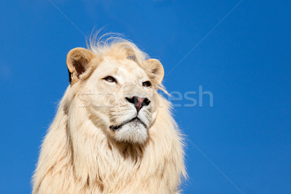 Head Shot Portait of Majestic White Lion against Blue Sky Stock photo © scheriton