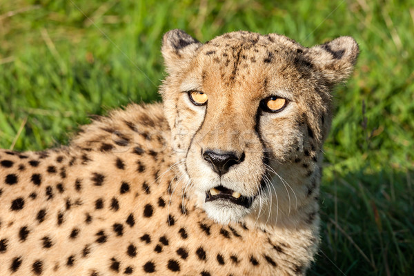 Cabeça tiro belo leopardo tarde sol Foto stock © scheriton