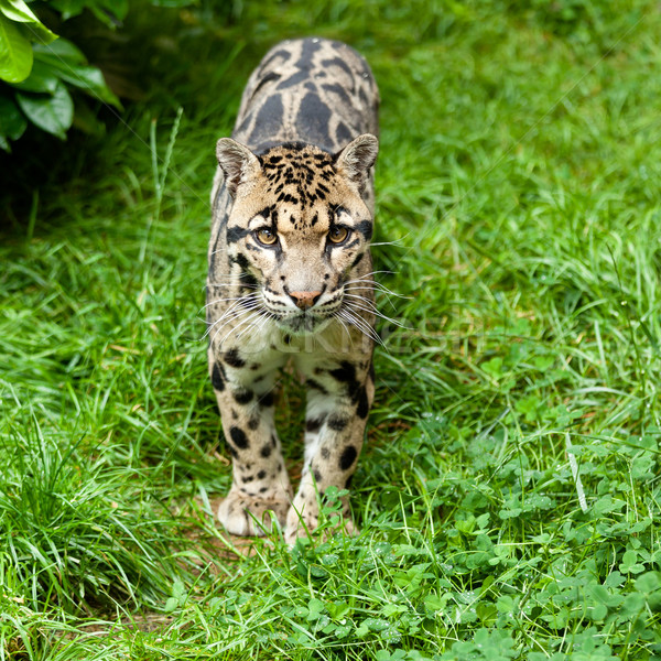 Clouded Leopard Standing on Grass Stock photo © scheriton