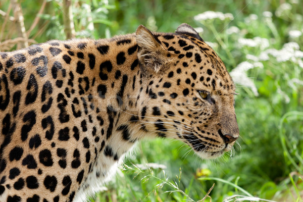Profile Head Shot of Back Lit Amur Leopard Stock photo © scheriton