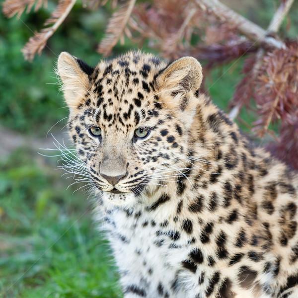 Head Shot of Adorable Baby Amur Leopard Cub Stock photo © scheriton