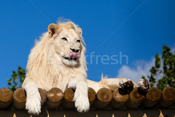 White Lion on Wooden Platform Licking Nose Stock photo © scheriton