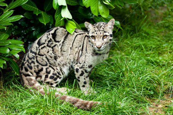 Female Clouded Leopard Sitting Under Bush Stock photo © scheriton