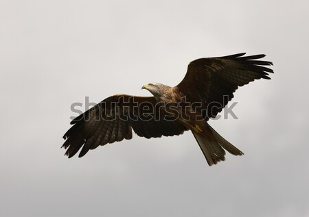 Red Kite Stock photo © scooperdigital