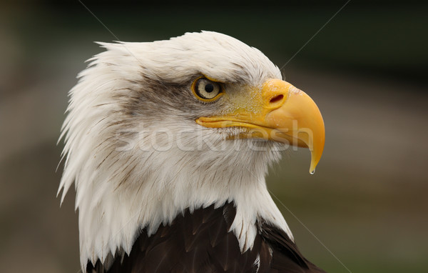 Careca Águia retrato pássaro preto cabeça Foto stock © scooperdigital