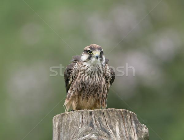 Falcon occhi occhi natura piuma animale Foto d'archivio © scooperdigital