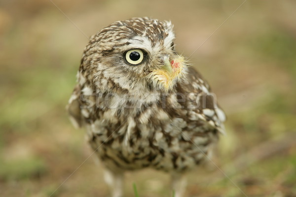 Little Owl Stock photo © scooperdigital