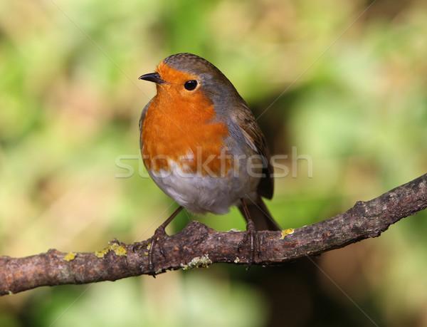 Inverno ramo neve jardim laranja pássaro Foto stock © scooperdigital