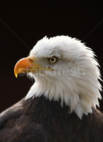 лысые орел портрет глаза черный свободу Сток-фото © scooperdigital