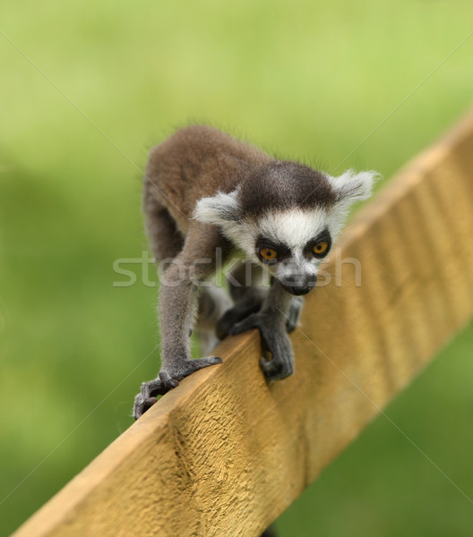 Stock photo: Baby Ring-Tailed Lemur