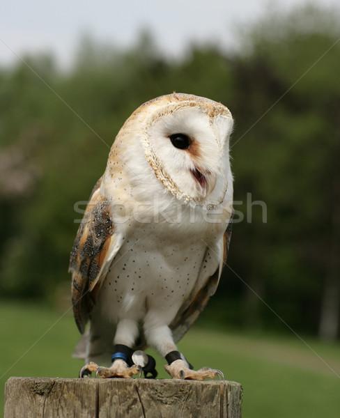 Grange chouette portrait oiseau blanche ailes Photo stock © scooperdigital