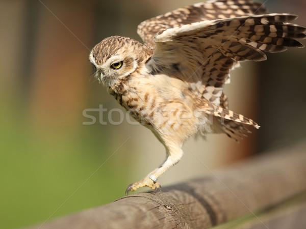 Chouette portrait atterrissage clôture faune peu Photo stock © scooperdigital
