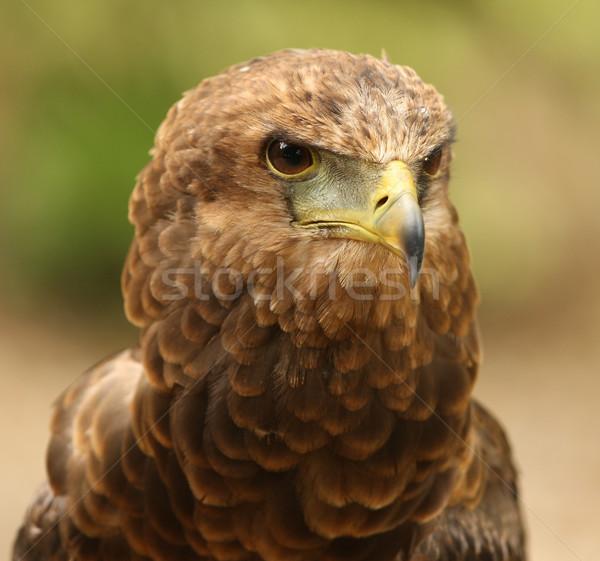 イーグル 肖像 自然 鳥 アフリカ 自由 ストックフォト © scooperdigital