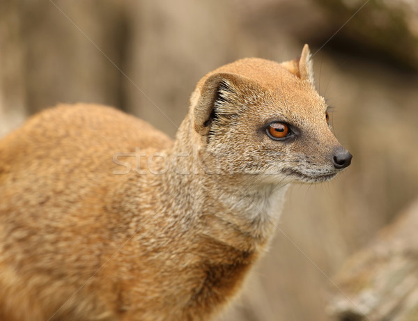 Yellow Mongoose Stock photo © scooperdigital