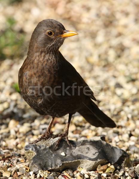 Blackbird Homme oeil nature jardin Photo stock © scooperdigital