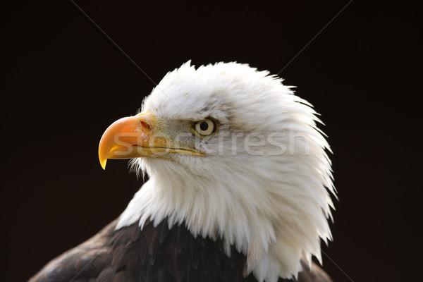 Careca Águia retrato olho preto liberdade Foto stock © scooperdigital
