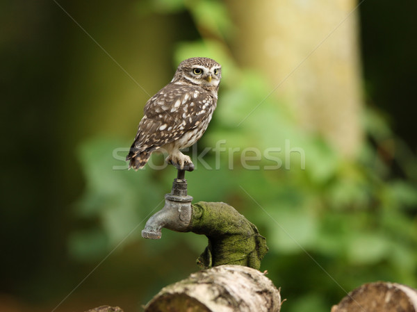Little Owl Stock photo © scooperdigital
