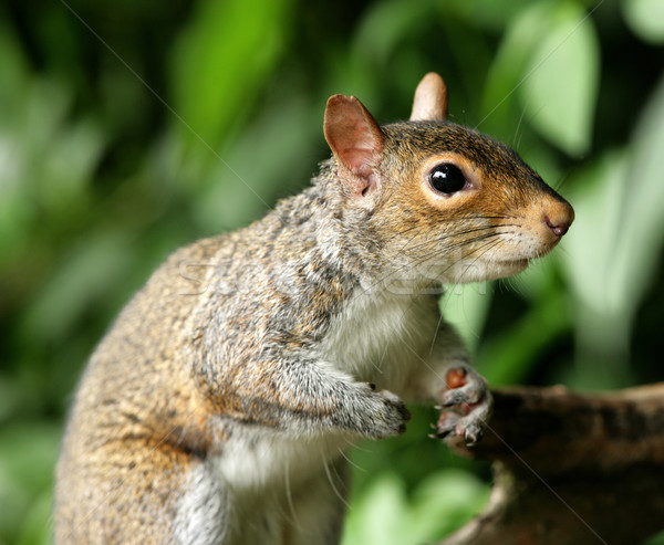 Grey Squirrel Stock photo © scooperdigital