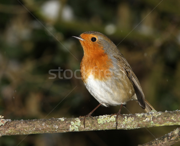 Robin in winter Stock photo © scooperdigital