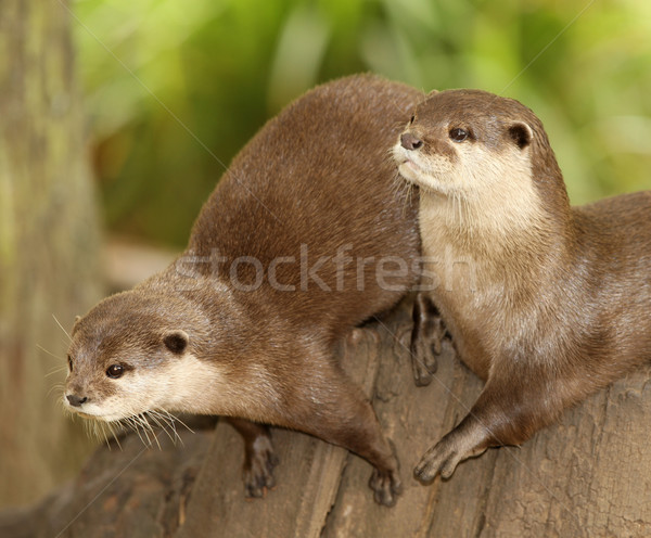 European Otters Stock photo © scooperdigital