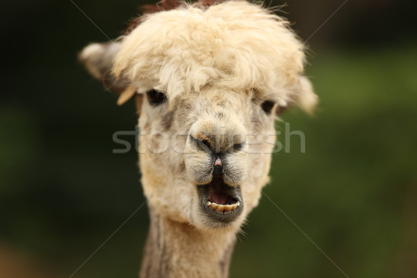 Alpaca Stock photo © scooperdigital