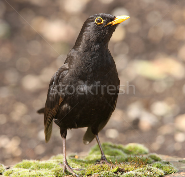 Blackbird Stock photo © scooperdigital