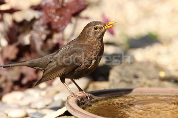 Blackbird Stock photo © scooperdigital