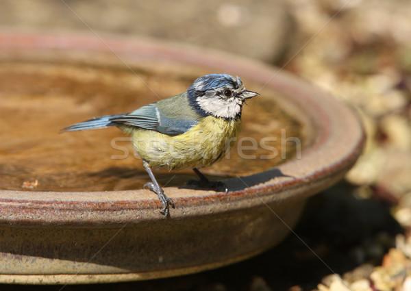Blue Tit Stock photo © scooperdigital