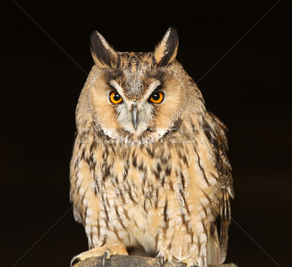 Longtemps chouette portrait nature noir animaux Photo stock © scooperdigital