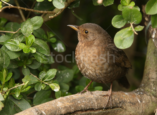 Female Blackbird Stock photo © scooperdigital