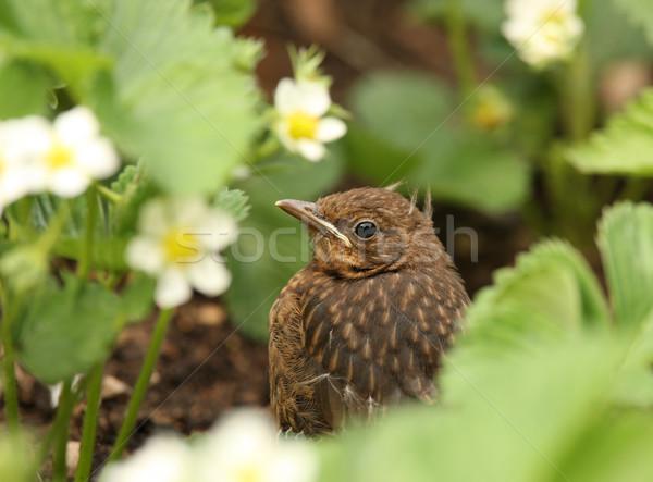 дрозд черный портрет ребенка весны саду птица Сток-фото © scooperdigital